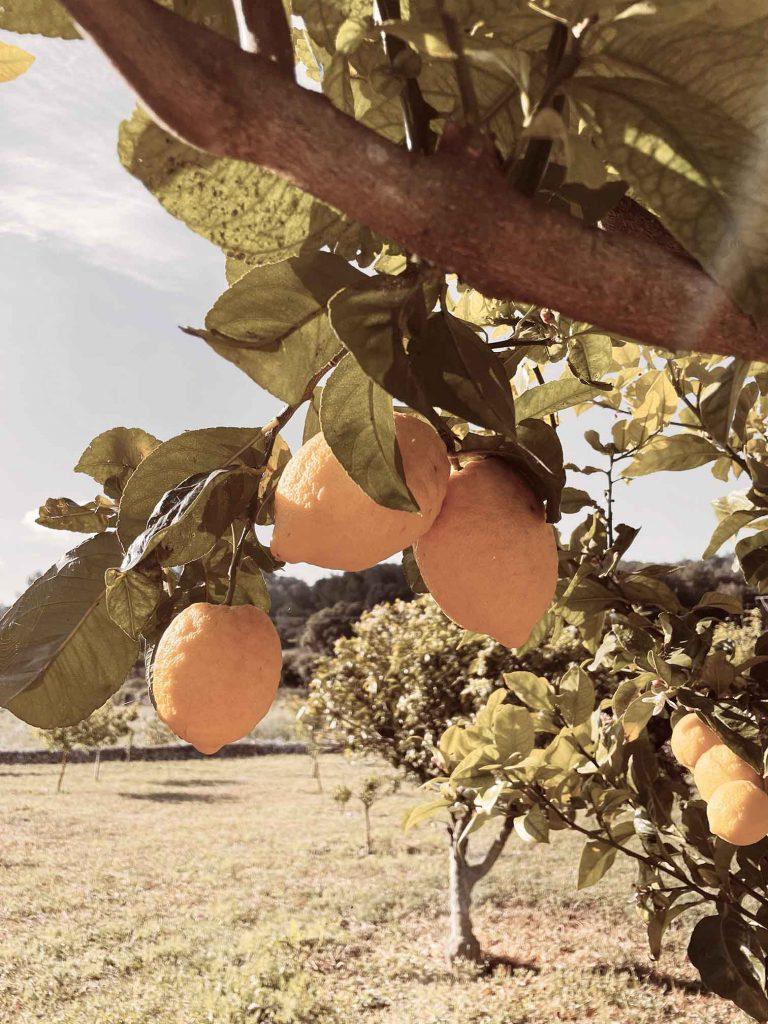 TWENTYTWONOTES Finca SEstelrica Mallorca_citrusboom